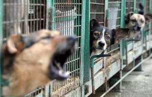 dogs-russia_1116027i-300